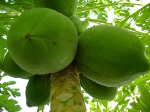 Đu đủ xanh được dùng để chữa nhiều loại bệnh trong đó có bệnh thận